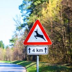 Szarvas veszély az utakon